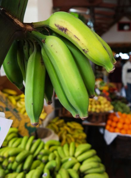 Madeira bananas are small and sweet. Photo by Katja Presnal.