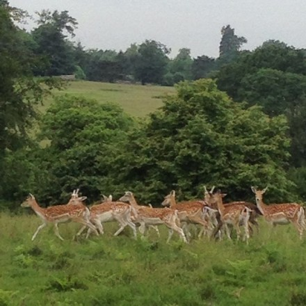 A deer park and the royal hunting lodge Knole House is the center of my medieval home town, Sevenoaks