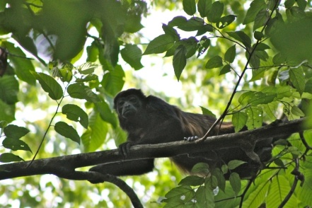 CR Howler Monkey