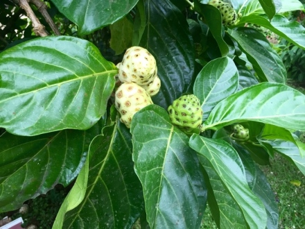 CR Tropical Plant